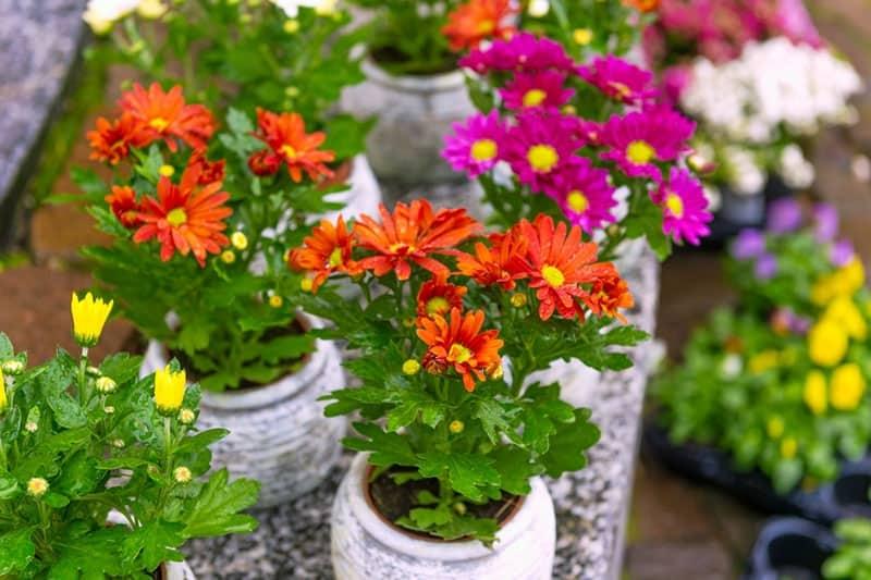 Bunga Krisan dalam Pot